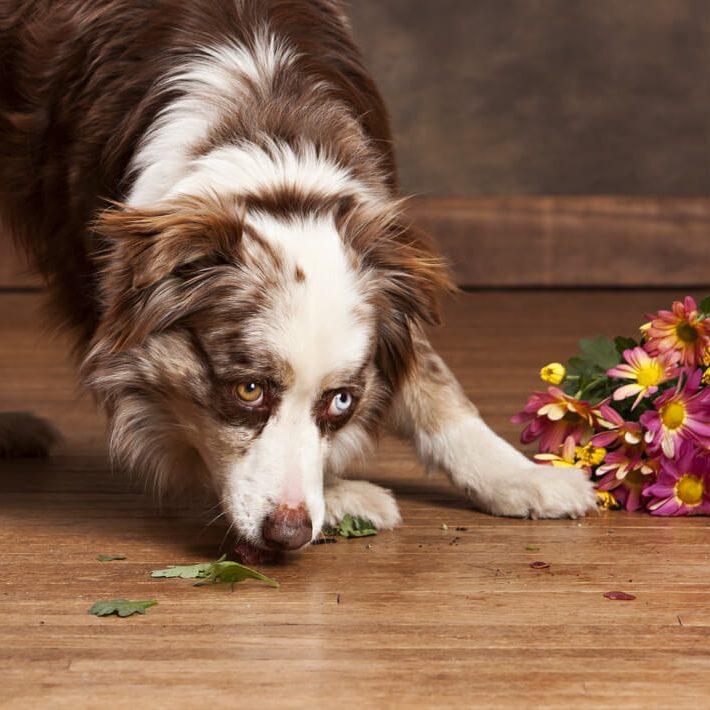Dog on hardwood floor | Speers Road Broadloom